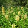 kahili ginger starr-050817-3946