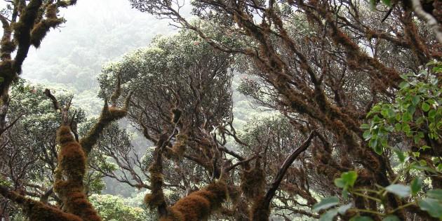 Ohia forest