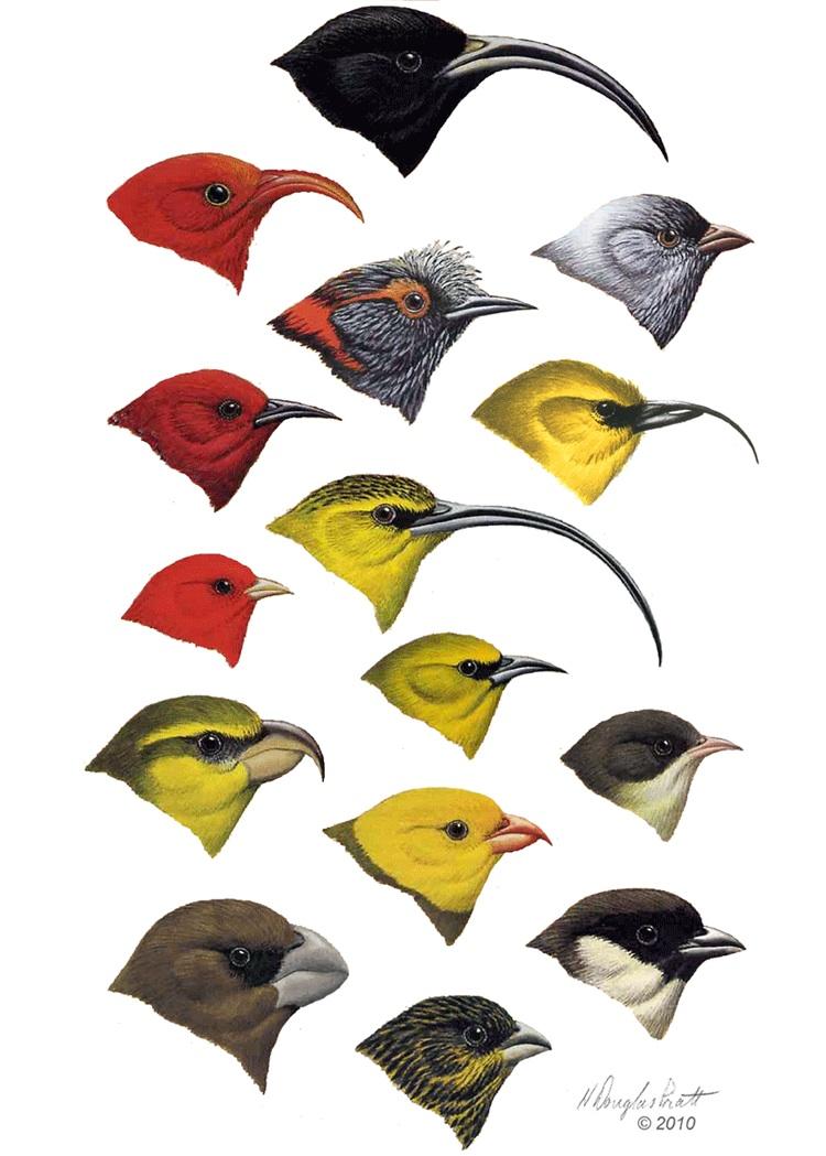 adaptive radiation in rain forest birds hŘike o